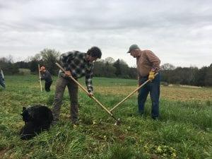 Volunteers hoeing ground